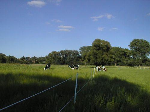 Das Rinderquartett wieder vereint_23.07.2008