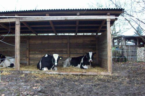 Die Kühe im Unterstand_26.11.2008