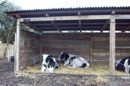 Die Ochsen im Unterstand_26.11.2008