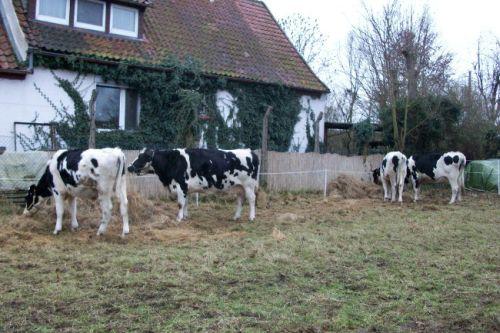 Das Rinderquartett frisst_21.12.2008