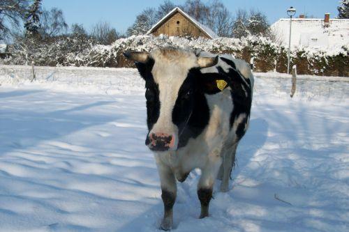 Amigo im Schnee_04.01.2010