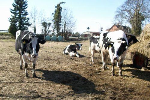 Das Rinderquartett02_21.03.2010
