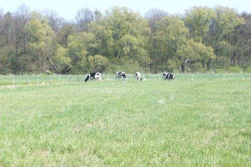Das Rinderquartett grast_24.04.2010
