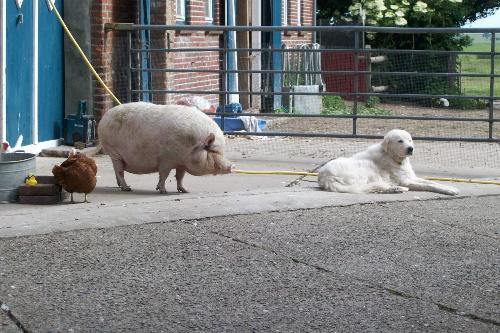 11huhn-schweinhund.JPG