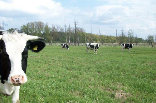 Das Rinderquartett_27.04.2010
