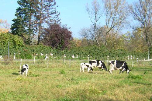 kuhe-grasen-glucklich-in-rothemuhle_28102007.JPG
