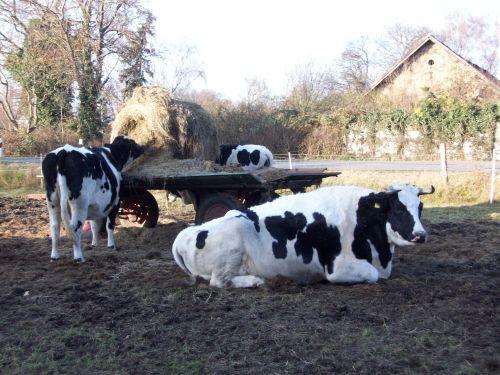 Die Rinder am Hänger_07.12.2014