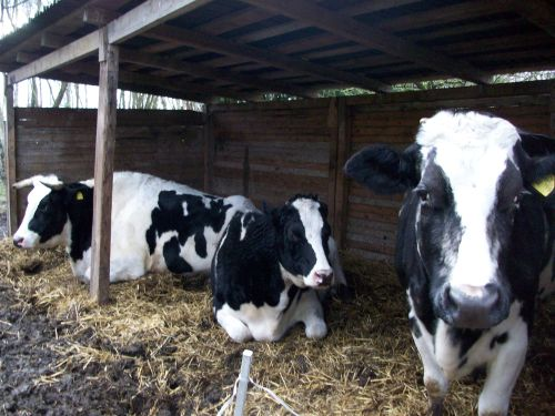 Die Rinder im Unterstand_04.01.2015